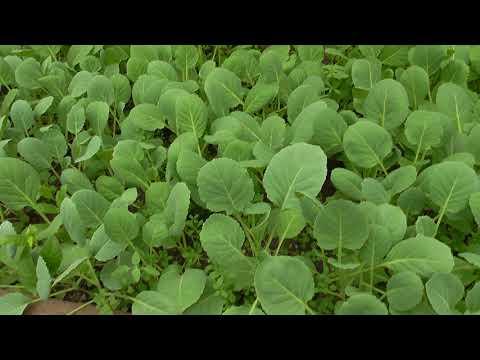 Выращивание капусты. Кила капусты, меры борьбы