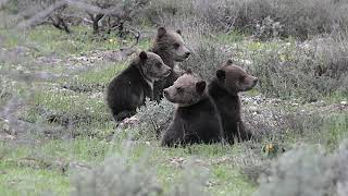 Wildlife Photography-World's Cutest Grizzly Quad Cubs-399 4 cubs-Jackson Hole/Grand Teton Park/Stone
