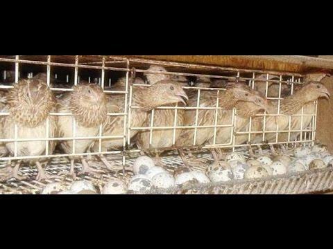 Video Cara Budidaya, Cara Merawat, Cara Menetaskan Telur Burung Puyuh.
