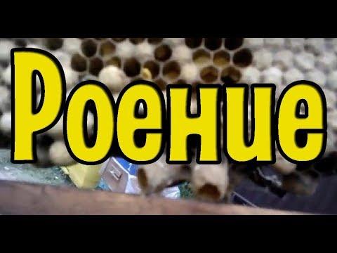 Роение| Выход из роевого состояния| Метод № 2| Мёда нет, а пчёлы роятся!