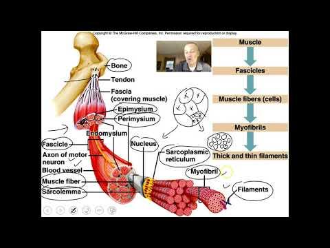 Le muscle de squelette de la caractéristique