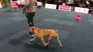 WORLD DOG SHOW 2017 Cadebou BOB & BOS