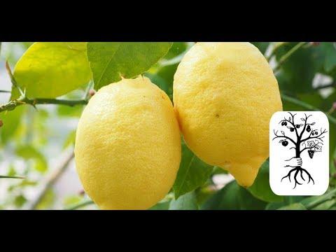 Alles Zitronenbaum! Pflanzen, Schneiden, Veredeln, Überwintern - Garteln