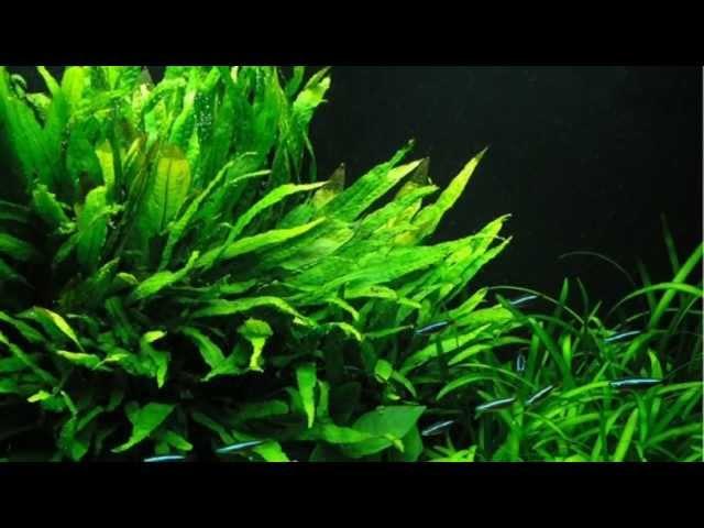 Plants For A Decorated Discus Aquarium -B