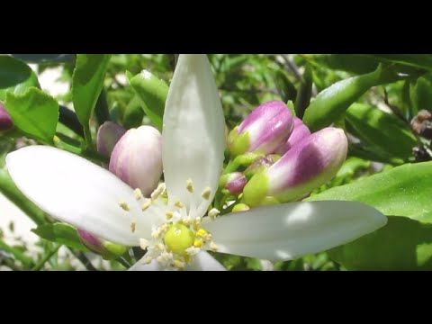 Neroli Essential Oil - Distilled Sun Captured By Flowers - with David Crow of Floracopeia