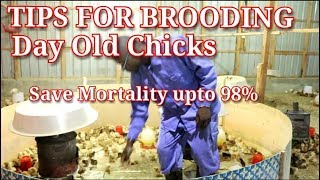 Day old Chicken brooding Tips. Save mortality upto 98%  / Chicken rearing in Kenya