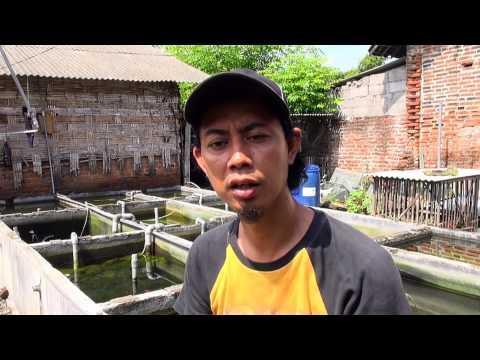 Video Budidaya udang hias di Sidoarjo hasilkan omzet puluhan juta - NET5