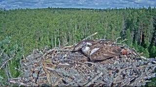What an Osprey Does When Her Nest is in Danger