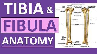 Tibia and Fibula Anatomy of Leg Bones | Anatomy & Physiology