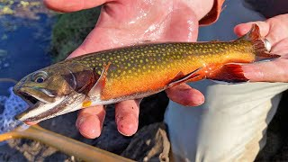 MOST BEAUTIFUL FISH IN WISCONSIN?!?! - Early Season Fly Fishing For Trout!!!