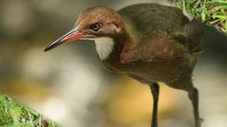 Extinct Bird Comes 'Back from the Dead' After 136,000 Years