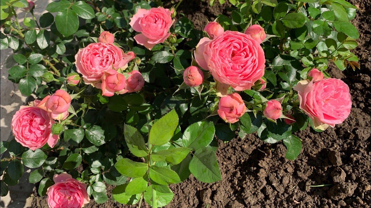 Роза «Леонардо да Винчи» (Rosе «Leonardo da Vinci»)