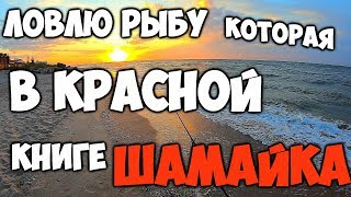 Ловля шемаи на азовском море с берега