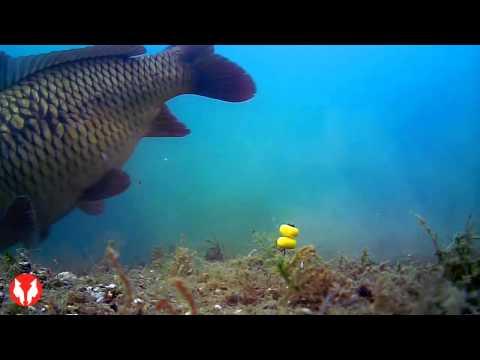 Water Wolf Unterwasserkamera Live Karpfenbiss in Kooperation mit Prologic