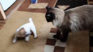 щенок джек рассела играет с котом