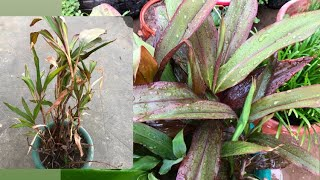 How to revive a sick Dracaena|| Bring your houseplant back to life 🌱🌱