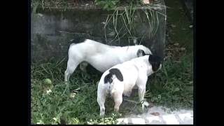 The French Bulldog - Pet Dog Documentary English