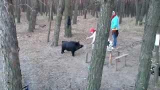 Смотреть онлайн Что бывает, когда встретишь дикого кабана в лесу