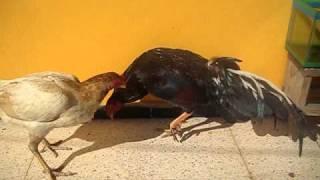 gallos de combate /gallo ESPAÑOL y gallina ASIL (LOS CORUKOS) prop. Oscar M. Hernandez Alcala