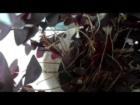 Кислица или домашний клевер счастья (фиолетовая бабочка)