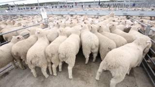 Mount Gambier Lamb Sale Report - 2nd November 2016
