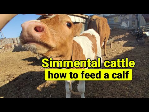 , title : 'Simmental cattle - how to feed a calf | Simmental cow | 西门塔尔牛-如何喂小牛