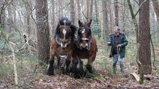A Team Of 2 Belgian Draft Horses Pull A Long And Heavy Log