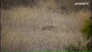 preview picture of video 'Bobcat hunting in San Bernardino NF 8 Nov 2012. Lynx rufus, predator, Cat.'