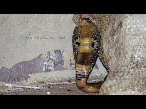 This is how Trained Snake Catchers catch a baby Cobra safely