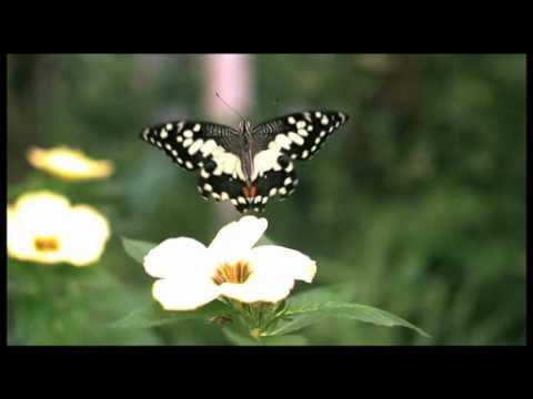 チョウの飛翔 700fps ハイスピード