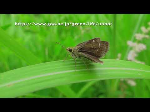 ホシチャバネセセリの飛翔 Aeromachus inachus