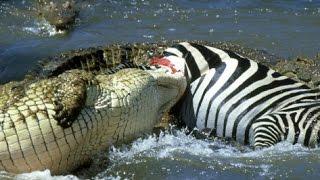 The Nile Crocodile Great Predator of The World (COMPLETE) [HD]