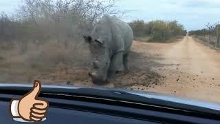 НОСОРОГИ уничтожают АВТО 24 декабря 2018. Реальное видео against rhino against против носорога