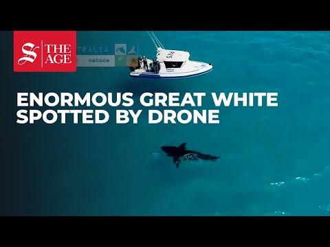 Drone spots enormous great white shark in Esperance, Western Australia