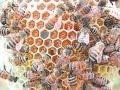 تربية النحل - معالجة الفاروا بالثوم