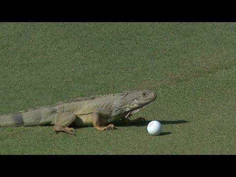 Una iguana trata de comerse la pelota de golf en pleno campo de juego