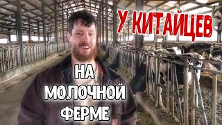 У Китайцев на молочной ферме!!!! (Китай 3/6)