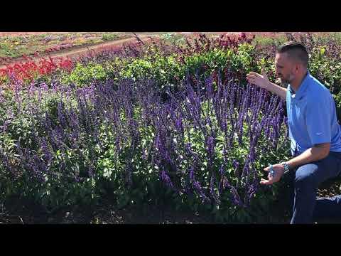 Trial Peeks - Salvia Mystic Spires Improved thumbnail
