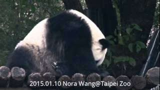 2015.01.10 仔仔乖乖回家 (The Giant Panda Yuan-Zai)