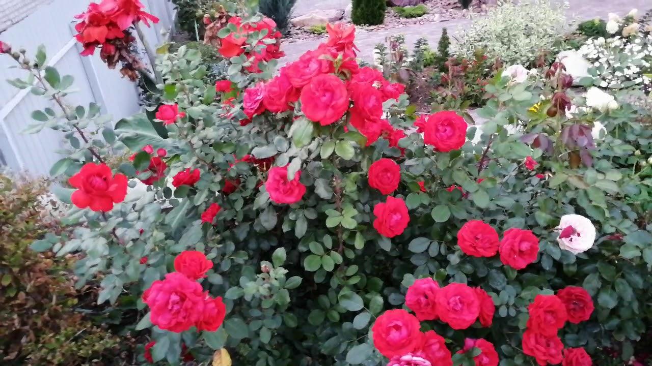 """Роза флорибунда """"Нина Вейбул""""."""
