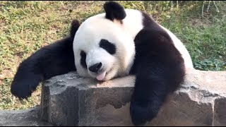 🐼 Panda Funny Moment Videos Compilation