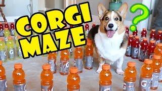 Corgi Maze Challenge Fails — Building A Dog Maze || Extra After College