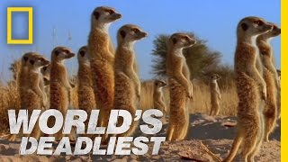 World's Deadliest - Meerkats' Mob Rule