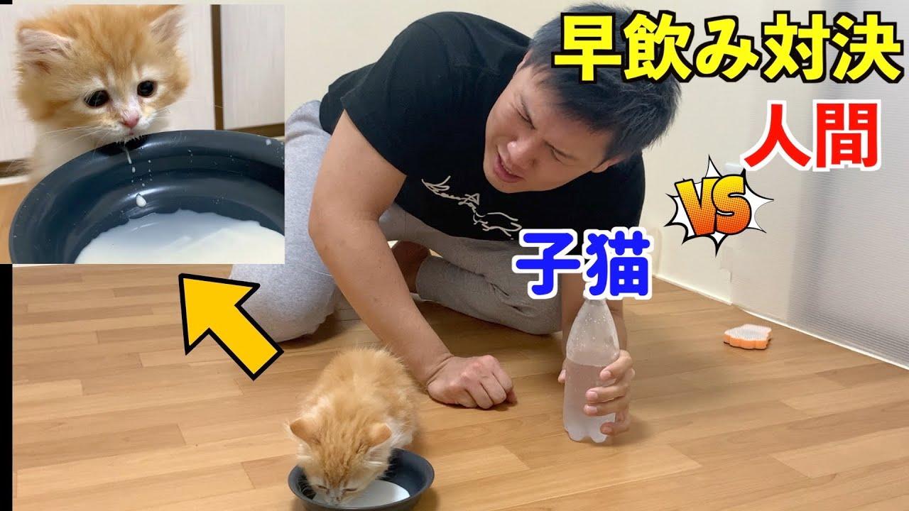 【早飲み対決】子猫VS人間(マンチカン)