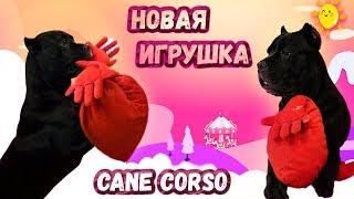 Новая игрушка у собаки Кане Корсо  #canecorso