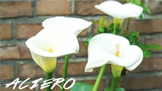 CALLA LILIES GROWING INDOORS & OUTDOORS CARE GUIDE