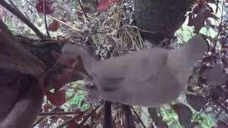 Wild Baby Bird Growing Up (Eurasian collared dove)