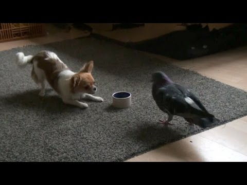 Dog and Bird play and fight over food