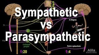 Autonomic Nervous System: Sympathetic vs Parasympathetic, Animation