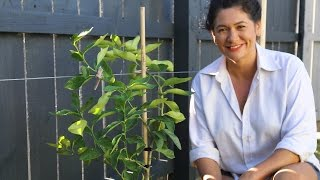 Youtube thumbnail for How to espalier fruit trees